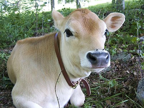 Cowbaby